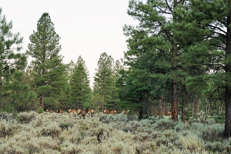 Herd of Elk near my camp in Kaibab National Forest
