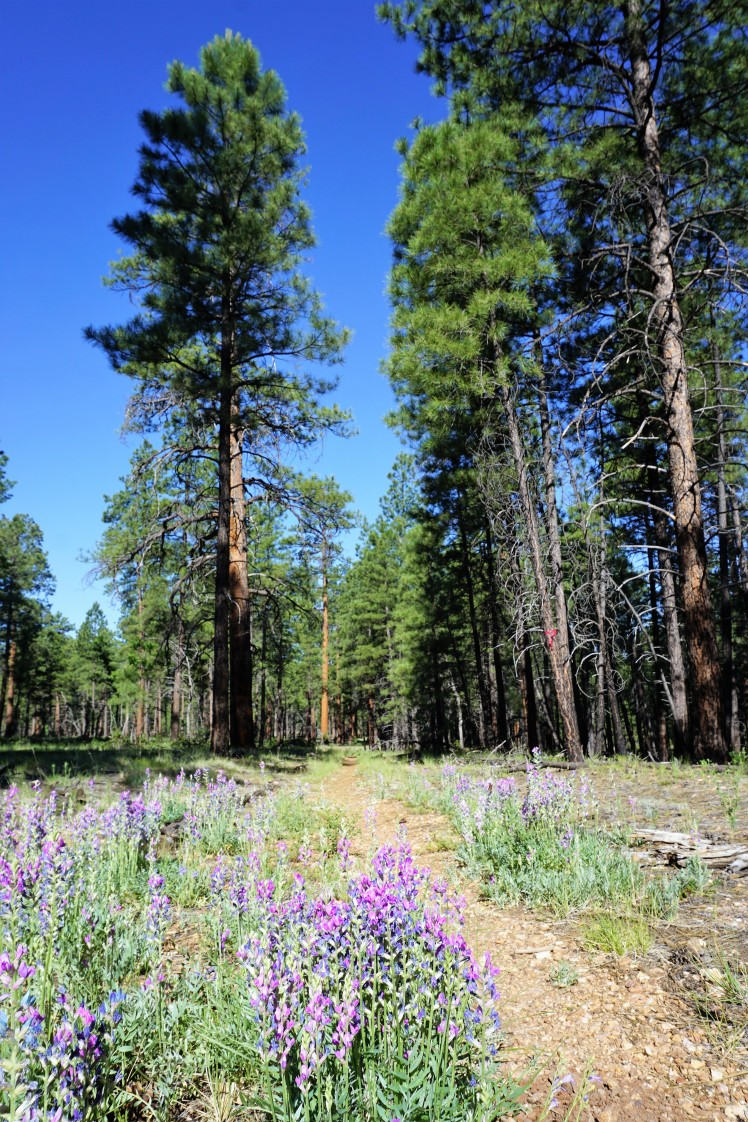 Wildflowers and Ponderosa Pines